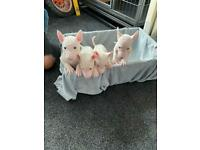 English bull terrier puppies males left