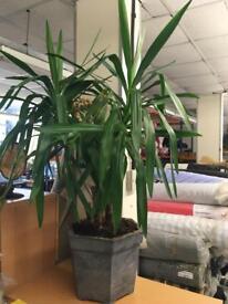 Indoor large plant. (1)