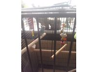 Budgie for sale 9 months old with large cage