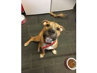 Beautiful bull mastiff / shar pei puppy he 6 month old