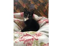 Fabulous Siberian X Kitten 1 available
