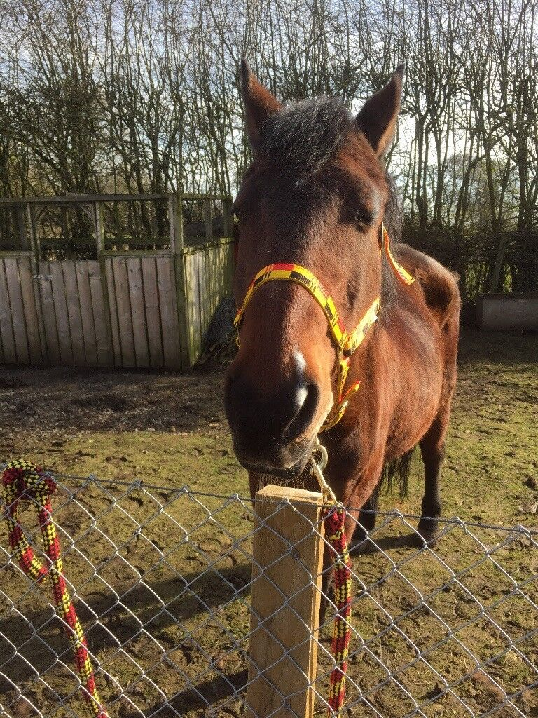 Re-ad due to time wasters 14.2 gelding companion