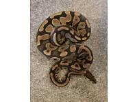 Female yellow belly royal python