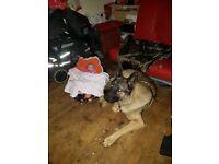 Need a new forever home German shepardcross akita
