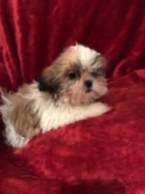 Shihtzu x poodle puppies looking for loving, caring forever homes