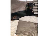 Dobermann puppies ready now