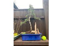 Bonsai Cedar of Lebanon