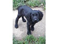 Pedigree cocker spaniel puppies £500 each