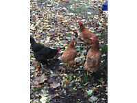3 ISA Brown chickens for sale