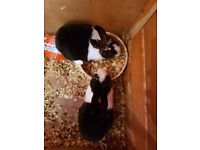 2 baby black and white rabbits with hutch