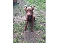 Chocolate patterdale terrier