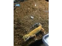 Leppard gecko plus viv