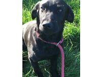 Labrador dog for sale