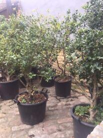 English Holly hedging Ilex aquifolium hedging