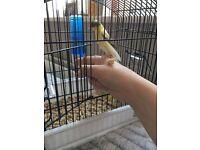 irish fancy canary chicks