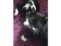 Beautiful healthy playful kittens , ready now