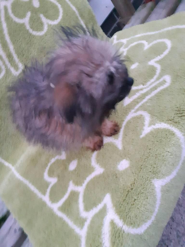 Last 1 Beautiful Shihtzu Pomeranian Puppy For Sale In Coalisland