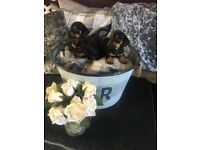 Lovely miniature Dachshund puppies girls only