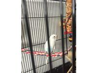 6 month old budgie with cage