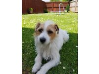 Jack russell. Long haired 3 years old. Great with children. Lovely family pet. House trained.