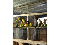 Fischer lovebirds for sale