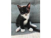 3 Calico cross Main Coon kittens - £330
