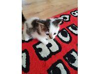 Last one beautiful long haìr kittens for sale.
