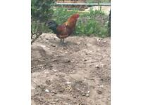 Rose comb bantam cross cock 10 month old free to a good home