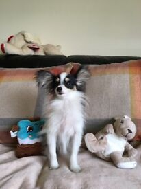 Beautiful Papillon Puppies for sale