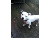 1 year old staffy boy £ 200.00