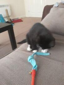 8 week old fenale kitten