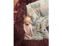 Chihuahua pup 6 weeks Old mum can be seen