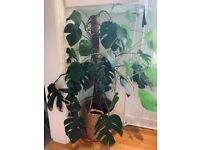 Monstera deliciosa Swiss cheese plant 4ft tall