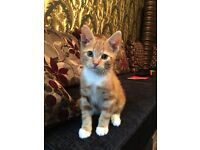Ginger 8 weeks old kitten (male)