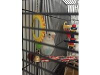 Budgie with new cage
