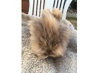 Stunning lionhead rabbit