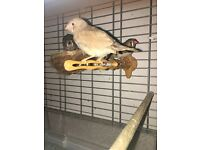 3 Zebra finches for sale
