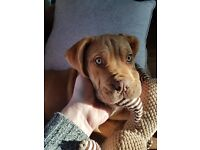 Female bullmastiff puppy for sale