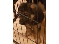 German shepherd pup boy 1 left