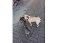 French bulldog x puppy