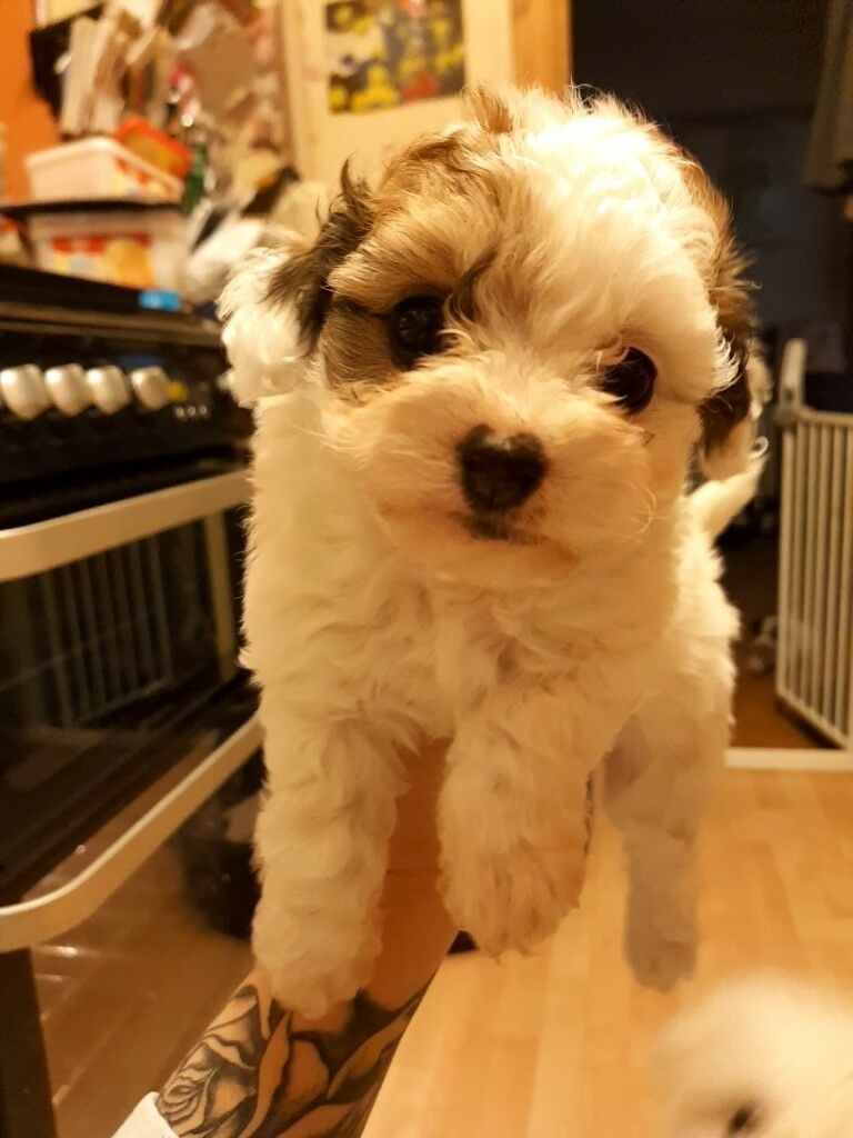 Toy Poodle x Teacup Chiuahua puppies | in Croydon, London | Gumtree