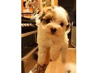 Toy Poodle x Teacup Chiuahua puppies