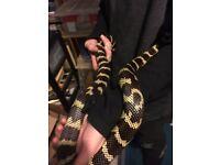 Caifornia banded king snake CB 12