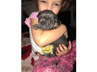 Blue French bulldog pups 8 weeks 3 days. and ready