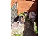 2 baby lionhead rabbits