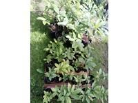 Chestnut seedlings