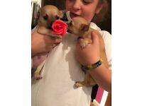 Pedigree Chihuahua pupy
