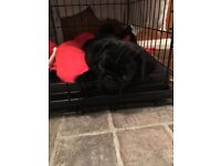 Pug Puppy, female black, fully chipped and up to date will all inoculations