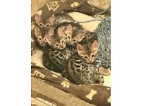 Bengal kittens for reservation