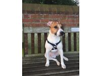 Jack Russell for sale . 200£contact 07513233334